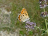lycaena thersamon 012 (15)